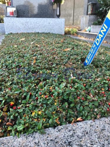 Grabpflege Bodendecker Cotoneaster - Zwergmispel