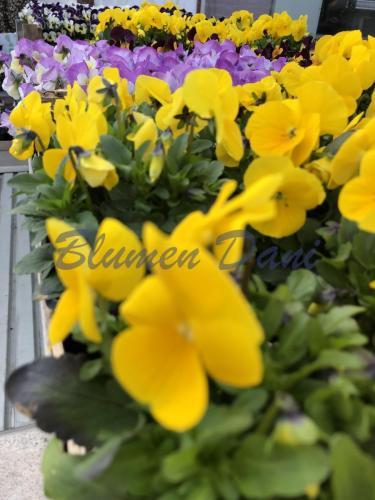 Hornveilchen - Viola cornuta