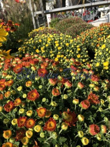 Chrysanthemen - Herbst